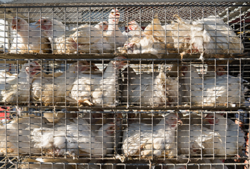 import-export-and-transhipment-of-live-poultry-and-live-stock